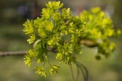 Gröna blommor av lönnen på filialerna av trädet royaltyfri fotografi