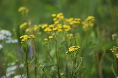 Gröna blommor för ängbreddguling Strålarna av solen ljusnar ängen fotografering för bildbyråer
