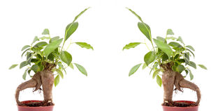 Gröna bonsaitrees Arkivfoto