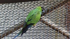 Gröna Budgie på den fågelKindgom aviariet i Niagara Falls, Kanada Arkivbilder