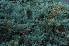 Gröna buskar Royaltyfria Foton