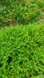 Gröna buskar Arkivfoto