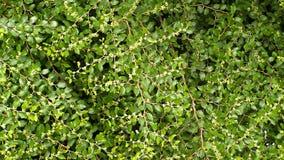 Gröna buskar i sommarträdgård Arkivbild