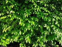 Gröna buskar Många gröna sidor kombineras in i en buske royaltyfria foton