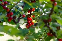 Gröna buskar med röda bär, vinbär på filialer Arkivbild