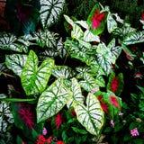 Gröna Caladiums och färgrika blommor Royaltyfri Fotografi