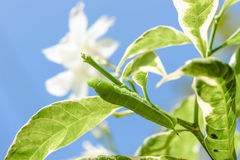 Gröna Caterpillar på det gröna bladet Arkivbild