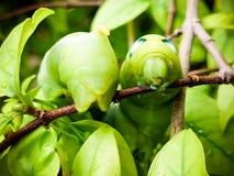 Gröna Caterpillar på på en filial close upp royaltyfri foto