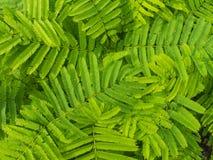 Gröna Cha Leaves efter regn royaltyfri fotografi