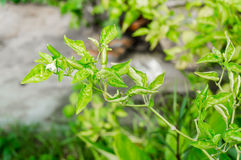 Gröna chilipeppar på ett träd Royaltyfria Bilder