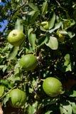 gröna citroner Royaltyfri Foto