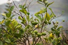 gröna citroner Royaltyfria Foton