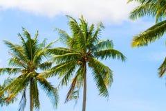 Gröna cocopalmblad på bakgrund för blå himmel Optimistiskt foto för palmträd och för blå himmel arkivfoto