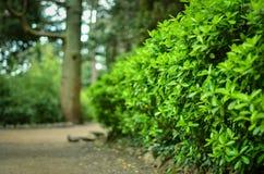 Gröna dekorativa parkerar busken i vår Arkivbild