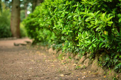 Gröna dekorativa parkerar busken i vår Royaltyfri Bild