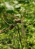 Gröna Dragon Fly royaltyfria foton
