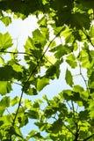 Gröna druvasidor av vingården och blå himmel arkivbilder