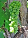 Gröna druvor arkivfoton