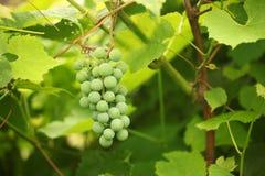 Gröna druvor fotografering för bildbyråer