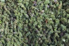 Gröna druvor i en vinproduktionlätthet Arkivfoton