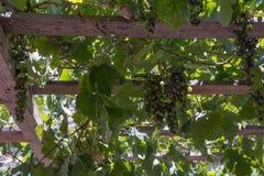 Gröna druvor i solljuset Fotografering för Bildbyråer