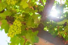 Gröna druvor i sunen. Arkivfoto