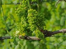 Gröna druvor i winegård Arkivbilder