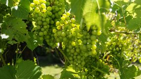 Gröna druvor på busken arkivfoton