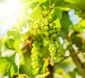 Gröna druvor på vine Arkivfoto