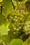 Gröna druvor på vinranka Royaltyfria Bilder
