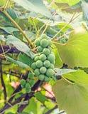 Gröna druvor & x28; white& x29; frukthängning, vitis - vinifera & x28; druvavine& x29; Royaltyfria Foton