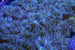 Gröna Duncan Coral Arkivbild