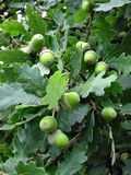 Gröna ekollonar Arkivfoton