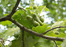 Gröna ekollonar växer på oak i en skog Fotografering för Bildbyråer