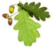 Gröna eksidor och ekollonar Arkivbild