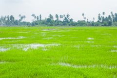 Gröna fält i Pulau Pinang royaltyfri fotografi