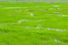 Gröna fält i Pulau Pinang arkivfoto