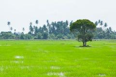 Gröna fält i Pulau Pinang arkivfoton