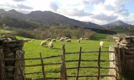 gröna får för fält Arkivfoto