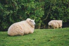 gröna får för fält Arkivfoton