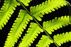 Gröna Fern Leaf på svart bakgrund Royaltyfria Bilder