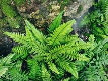Gröna Fern Leaves vid det vått vaggar med mossa royaltyfria foton
