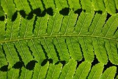 Gröna ferns Royaltyfri Fotografi