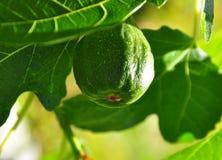 Gröna fikonträd på ett träd Royaltyfria Bilder