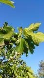 Gröna fikonträd på träd Royaltyfria Bilder