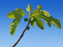 Gröna fikonträd som växer på trädet. Tidig vår. Royaltyfria Foton