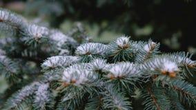 Gröna filialer av granen, gran under snön vintergrön tree Den första snön, höst, vår, tidig vinter långsam rörelse lager videofilmer