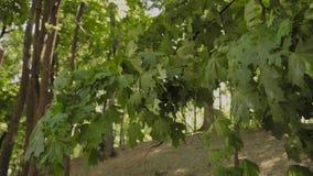 Gröna filialer av träd i staden parkerar i sommaren stock video