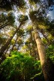 Gröna Forest Trees i perspektiv Arkivbilder