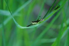 Gröna gräshoppor som sätta sig på gröna rissidor royaltyfri fotografi